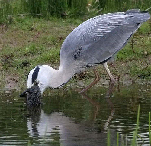 http://unnatural.ru/images/Heron/Heron_ate_rabbit01.jpg