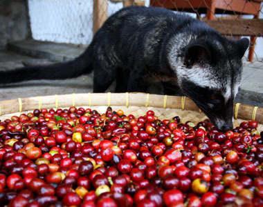 What Самый лучший в мире кофе, которое Вы вряд ли захотите попробовать
