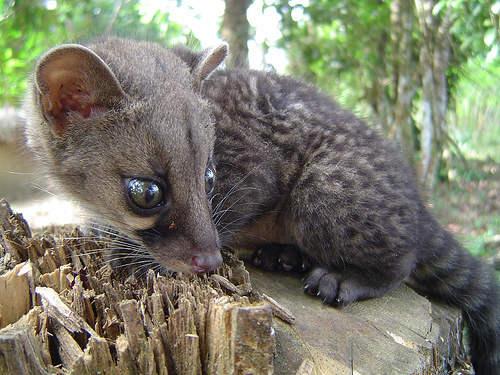 african civet Омерзительные деликатесы со всего света