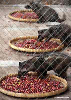 luwak prison Самый лучший в мире кофе, которое Вы вряд ли захотите попробовать