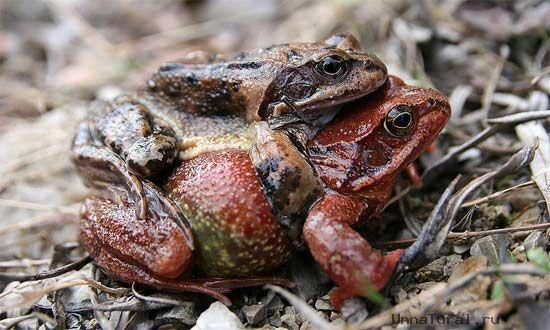 Frog gay «Животный гомосексуализм»