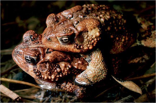 Frog gay1 «Животный гомосексуализм»