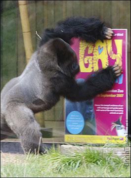 gorila1 «Животный гомосексуализм»