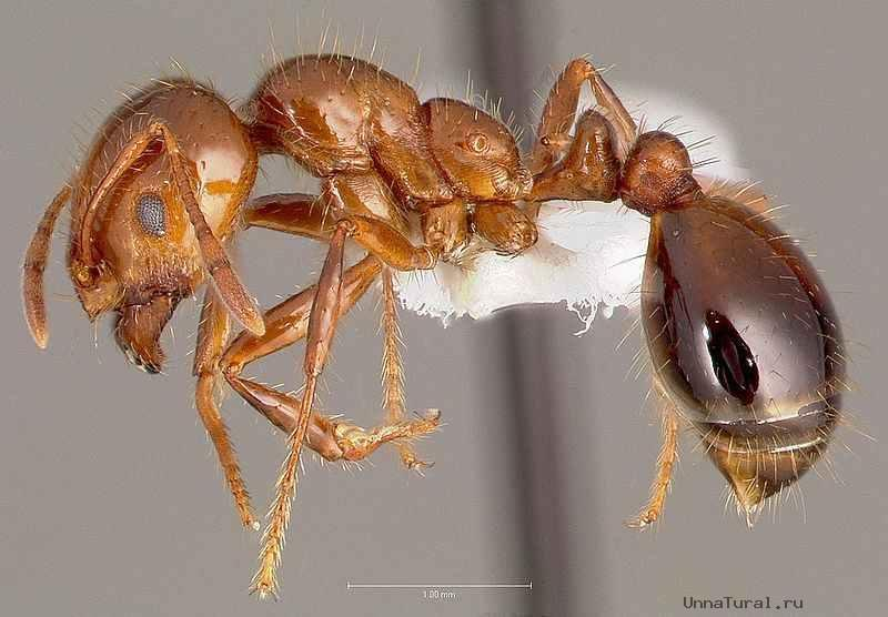 Рабочий solenopsis invicta — красный огненный