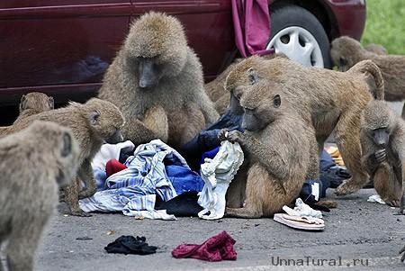 http://unnatural.ru/images/baboon/image-4-for-baboons-gallery-448368035.jpg