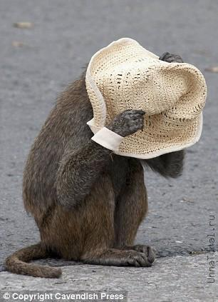 http://unnatural.ru/images/baboon/monkeyhat.jpg