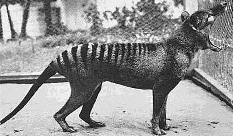 Thylacine Топ 5. Самые удивительные вымершие животные