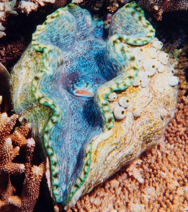 http://unnatural.ru/images/giant-clam/giant-clam1.jpg
