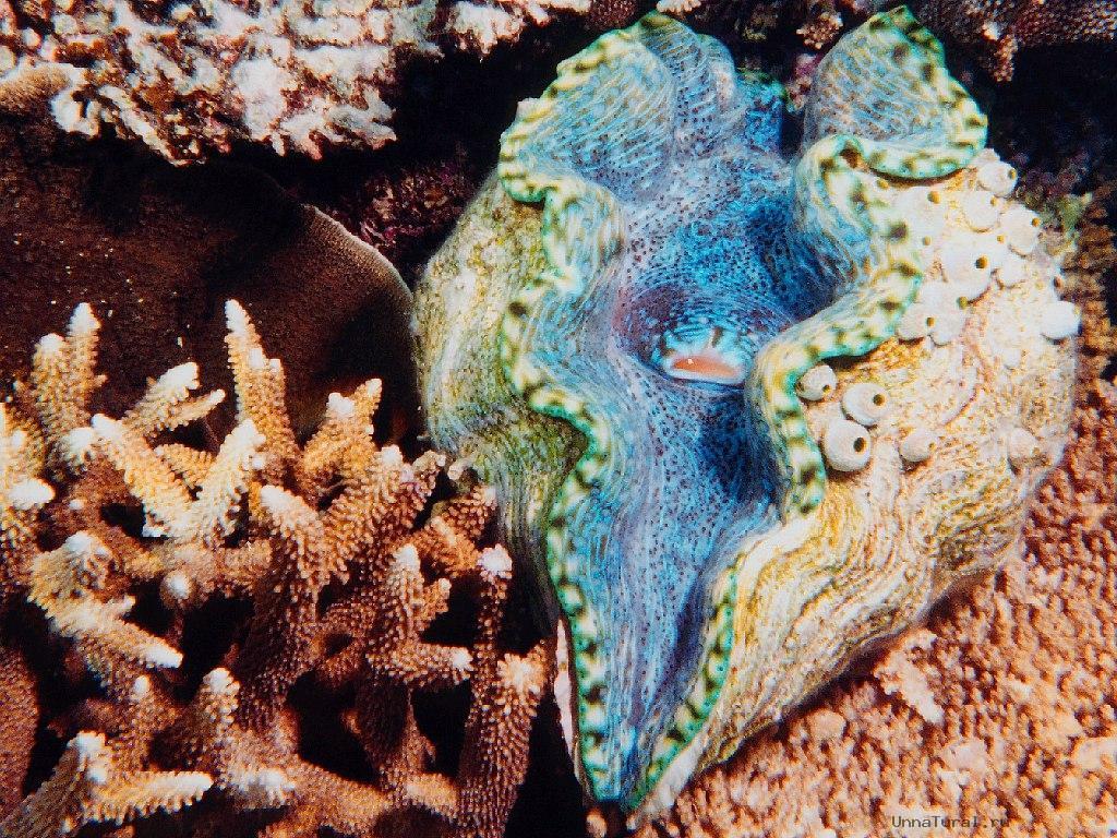 giant clam4 Моллюск убийца или ракушка людоед   самый крупный моллюск на Земле