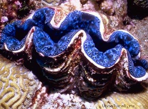 http://unnatural.ru/images/giant-clam/giant-clam5.jpg