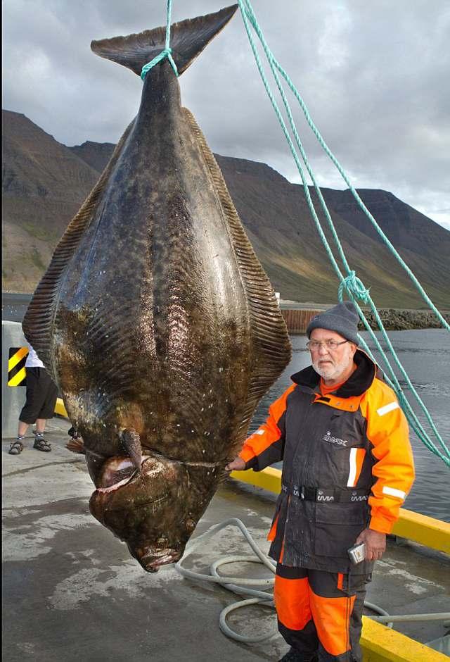 giant halibut 1 Гигантская закуска к пиву