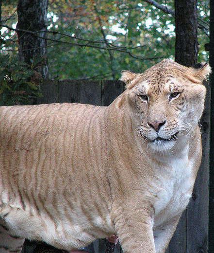 509px Liger Самая большая КИСКА в мире