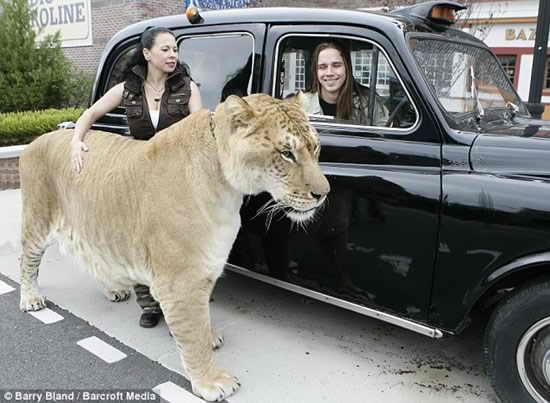 hercules liger4 Самая большая КИСКА в мире