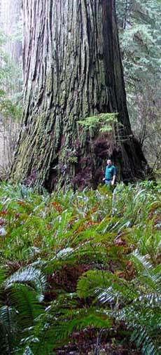 Del Norte Titan Самое большое дерево в мире