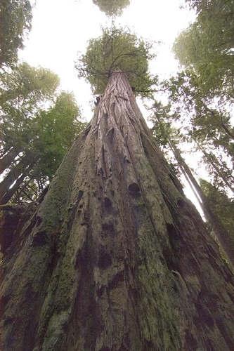 Hyperion Самое большое дерево в мире