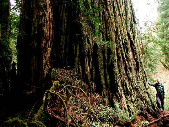 Lost Monarch tree Самое большое дерево в мире