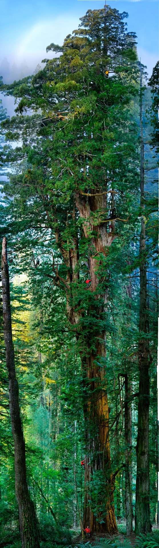 redwood portrait Самое большое дерево в мире