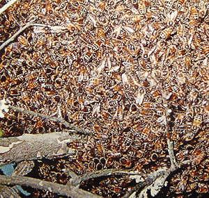 3 1 Топ 10. Самые опасные насекомые в мире