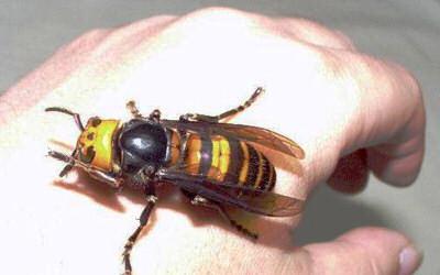 6 Топ 10. Самые опасные насекомые в мире