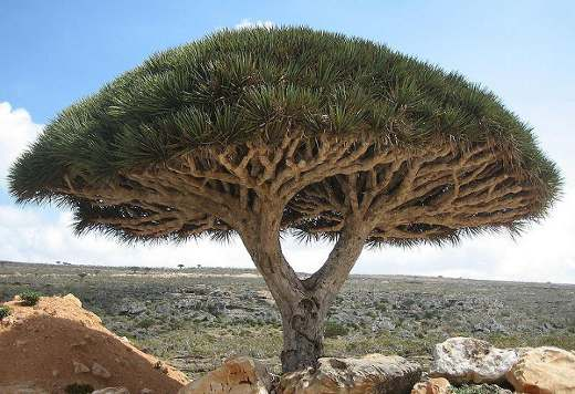 http://unnatural.ru/images/socotr/Socotra_dragon_tree.jpg