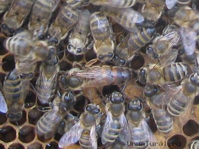 Чтобы созрела матка, пчелы-кормилицы...