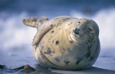 tulen 2 Два самых счастливых тюленя в мире