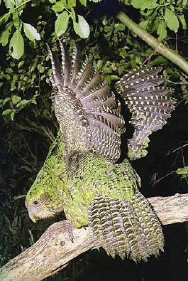 http://unnatural.ru/images/unanimal/kakapo.jpg