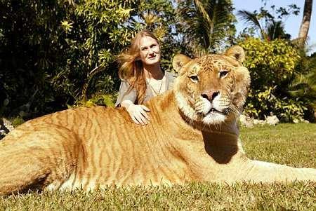 Помесь львов и леопардов. они меньше...