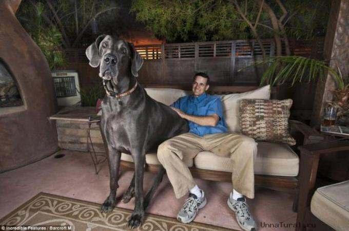 big dog01 Самая большая собака в мире