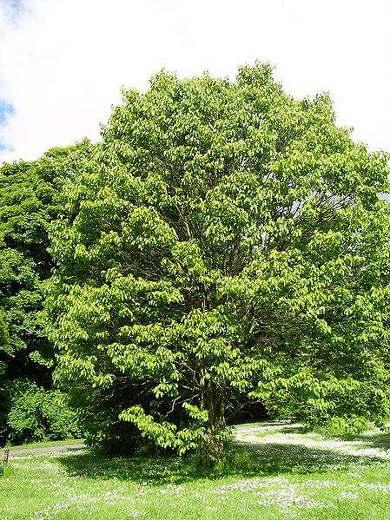 Дерево или японское изюмное дерево