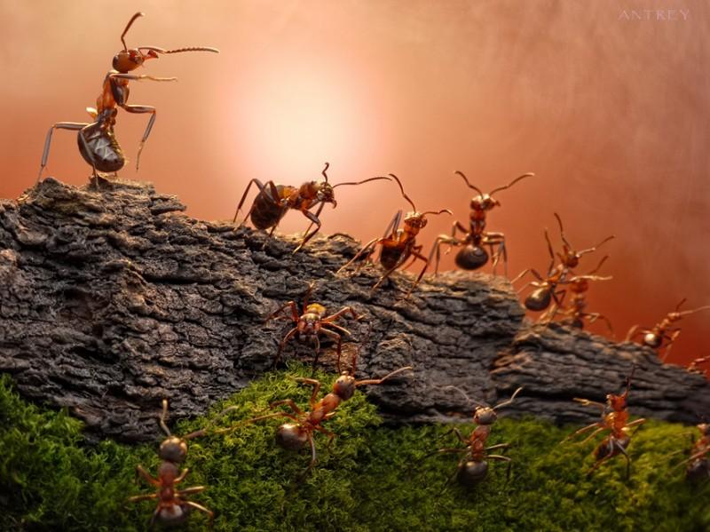 andrey pavlov 3 Тайная жизнь муравьев, сфотографированная Андреем Павловым