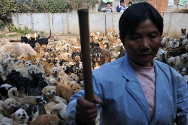 china animal shelter 01 Китаянка, которая дала приют 1500 собакам и 200 кошкам