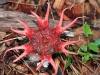 thumbs aseroe rubra 1 Топ 12. Самые жуткие растения планеты Земля