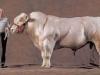 thumbs belgian blue cattle 1 Бельгийские голубые коровки   Шварценеггеры животного мира
