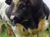 thumbs belgian blue cattle 4 Бельгийские голубые коровки   Шварценеггеры животного мира