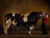 thumbs belgian blue cattle 9 Бельгийские голубые коровки   Шварценеггеры животного мира