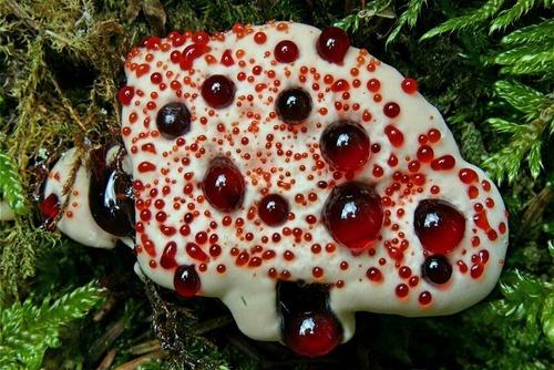 bleeding tooth fungus 1 Топ 12. Самые жуткие растения планеты Земля