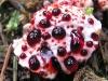 thumbs bleeding tooth fungus 2 Топ 12. Самые жуткие растения планеты Земля