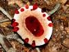 thumbs bleeding tooth fungus 3 Топ 12. Самые жуткие растения планеты Земля