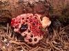 thumbs bleeding tooth fungus 5 Топ 12. Самые жуткие растения планеты Земля