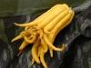 thumbs buddhas hand 1 Топ 12. Самые жуткие растения планеты Земля