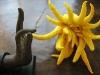 thumbs buddhas hand 3 Топ 12. Самые жуткие растения планеты Земля