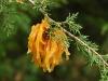thumbs cedar apple rust fungus 1 Топ 12. Самые жуткие растения планеты Земля