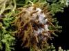 thumbs cedar apple rust fungus 10 Топ 12. Самые жуткие растения планеты Земля