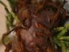 thumbs cedar apple rust fungus 3 Топ 12. Самые жуткие растения планеты Земля