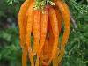 thumbs cedar apple rust fungus 4 Топ 12. Самые жуткие растения планеты Земля