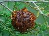 thumbs cedar apple rust fungus 5 Топ 12. Самые жуткие растения планеты Земля