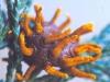 thumbs cedar apple rust fungus 6 Топ 12. Самые жуткие растения планеты Земля