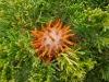 thumbs cedar apple rust fungus 8 Топ 12. Самые жуткие растения планеты Земля