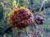 thumbs cedar apple rust fungus 9 Топ 12. Самые жуткие растения планеты Земля